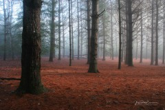 Pines I